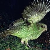 Kakapo. Adult male giving wing-waving display. Transit Valley, Fiordland National Park, March 1976. Image © Department of Conservation (image ref: 10046731) by Rod Morris, Department of Conservation Courtesy of Department of Conservation