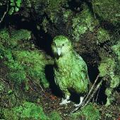 Kakapo. Adult female 'Alice' exiting nest cavity. Stewart Island, April 1981. Image © Department of Conservation (image ref: 10031129) by Dick Veitch, Department of Conservation Courtesy of Department of Conservation