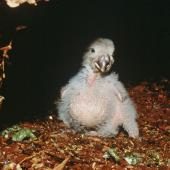 Kakapo. Chick 'Manu' (18 days old) in nest cavity. Whenua Hou / Codfish Island, April 1997. Image © Department of Conservation (image ref: 10034917) by Don Merton, Department of Conservation Courtesy of Department of Conservation