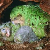 Kakapo. Adult female 'Alice' with chicks c.45 days old in nest. Whenua Hou / Codfish Island, April 2002. Image © Department of Conservation (image ref: 10048384) by Don Merton, Department of Conservation Courtesy of Department of Conservation