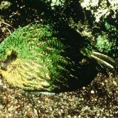 Kakapo. Side view of adult male giving booming calls. Stewart Island. Image © Department of Conservation (image ref: 10027966) by Ralph Powlesland, Department of Conservation Courtesy of Department of Conservation