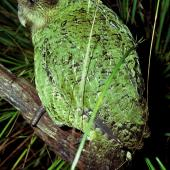 Kakapo. Subadult male. Tin Range, Stewart Island, June 1979. Image © Department of Conservation (image ref: 10029468) by Rod Morris, Department of Conservation Courtesy of Department of Conservation