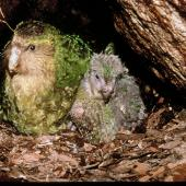 Kakapo. Adult female 'Zephyr' and 40-day-old chick 'Tiwai' in nest. Whenua Hou / Codfish Island, May 1997. Image © Department of Conservation (image ref: 10034474) by Don Merton, Department of Conservation Courtesy of Department of Conservation