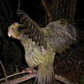 Kakapo. Female bird waving wings. Whenua Hou / Codfish Island. Image © Department of Conservation (image ref: 10059610) by Michael Szabo, Department of Conservation Courtesy of Department of Conservation