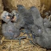 Kaka. Four North Island kaka chicks approximately 3 weeks old. Karori Sanctuary / Zealandia, Wellington, November 2011. Image © Judi Lapsley Miller by Judi Lapsley Miller judi@psychokiwi.org