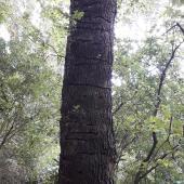 Kaka. Feeding damage to alder tree. Central Park, Brooklyn, Wellington, February 2018. Image © Kate McAlpine by Kate McAlpine