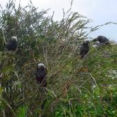 Kaka. South Island kaka group feeding in tree. Stewart Island, November 2006. Image © James Mortimer by James Mortimer
