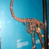 South Island giant moa. Mounted skeleton in Tring Museum, England. . Image © Alan Tennyson & the Natural History Museum by Alan Tennyson