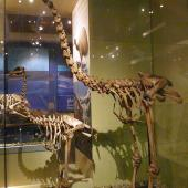 South Island giant moa. Mounted skeletons in Otago Museum, male in front of female. . Image © Alan Tennyson & Otago Museum by Alan Tennyson