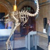 South Island giant moa. Mounted skeleton. . Image © Alan Tennyson & the Natural History Museum by Alan Tennyson