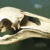 South Island giant moa. Skull. Kingston, Otago. Image © Alan Tennyson & the Southland Museum by Alan Tennyson