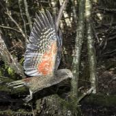 Kea. Juvenile in flight. Routeburn Flats, Mt Aspiring National Park, March 2016. Image © Ron Enzler by Ron Enzler http://www.therouteburntrack.com