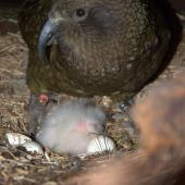 Kea. Adult female with 4-day-old chick and egg. Okarito Reserve, July 2012. Image © Corey Mosen by Corey Mosen www.coreymosen.co.nz