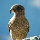 Kea. Juvenile male. Mt Cook National Park, January 2009. Image © Corey Mosen by Corey Mosen www.coreymosen.co.nz