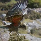 Kea. Juvenile with wings extended landing on coprosma. Arthurs Pass, March 2014. Image © Steve Attwood by Steve Attwood  http://www.flickr.com/photos/stevex2/