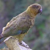 Kea. Adult at Hutton's shearwater colony. Upper Kowhai Stream Seaward Kaikoura Ranges, December 2011. Image © Mark Fraser by Mark Fraser