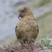 Kea. Adult at Hutton's shearwater colony. Upper Kowhai Stream, Seaward Kaikoura Range, November 2012. Image © Mark Fraser by Mark Fraser