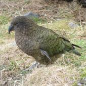 Kea. Adult walking on the ground. Arthur's Pass, September 2011. Image © James Mortimer by James Mortimer