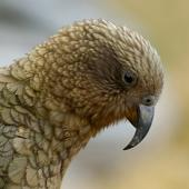 Kea. Close view of adult head in profile. Haast Pass, December 2005. Image © Craig McKenzie by Craig McKenzie