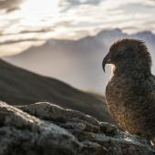 Kea. Juvenile male. Ben Lomond, Queenstown, November 2018. Image © Brandon Dasher by Brandon Dasher https://brandondasher.myportfolio.com/