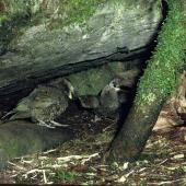 Kea. Adult feeding chicks at nest entrance. Tutoko high bench, Fiordland National Park, January 1977. Image © Department of Conservation (image ref: 10031156) by Rod Morris, Department of Conservation Courtesy of Department of Conservation