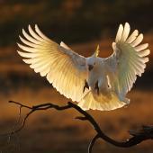 Sulphur-crested cockatoo. Adult landing. Kambah, Australian Capital Territory, August 2019. Image © Glenn Pure 2019 birdlifephotography.org.au by Glenn Pure