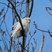 Sulphur-crested cockatoo. Adult. Otaihanga Domain, Waikanae estuary, July 2012. Image © Roger Smith by Roger Smith