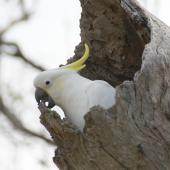 Sulphur-crested cockatoo. Adult excavating nesting hollow in preparation for spring. Canberra, Australia., August 2016. Image © RM by RM