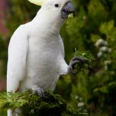Sulphur-crested cockatoo. Adult feeding. Melbourne, Victoria, Australia, February 2012. Image © Sonja Ross by Sonja Ross