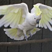 Sulphur-crested cockatoo. Adult swooping down to perch in captivity. Katikati, October 2011. Image © Raewyn Adams by Raewyn Adams