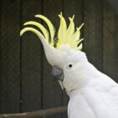 Sulphur-crested cockatoo. Adult displaying crest in captivity. Katikati, October 2011. Image © Raewyn Adams by Raewyn Adams