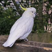 Sulphur-crested cockatoo. Dorsal view of adult in captivity. Owlcatraz, November 2008. Image © Duncan Watson by Duncan Watson
