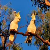 Sulphur-crested cockatoo. Perching adults displaying crests. Oxley Flats,  Victoria, April 2010. Image © Cheryl Marriner by Cheryl Marriner http://www.glen.co.nz/cheryl