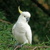 Sulphur-crested cockatoo. Adult. Red Hill, Victoria, Australia, March 2016. Image © Mark Lethlean by Mark Lethlean