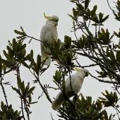 Sulphur-crested cockatoo. Two adults feeding in a rewarewa. Paraparaumu Scenic Reserve, March 2014. Image © Duncan Watson by Duncan Watson