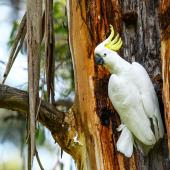 Sulphur-crested cockatoo. Adult. Red Hill, Victoria, Australia, November 2018. Image © Mark Lethlean by Mark Lethlean
