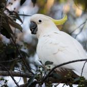 Sulphur-crested cockatoo. Adult female feeding. Near Brisbane, Queensland, Australia, July 2015. Image © Tara Swan by Tara Swan www.flickr.com/mousenz