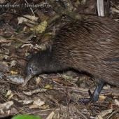 North Island brown kiwi. Adult. Hauturu / Little Barrier Island, January 2009. Image © Simon Fordham by Simon Fordham © Simon Fordham / NaturePixwww.naturepix.co.nz