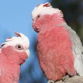 Galah. Close-up of male and female, showing difference in eye colour (male on left). Canberra, Australia., July 2016. Image © RM by RM