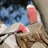 Galah. Male (dark iris) examines the nesting hollow while the female (red iris) watches on. Canberra, Australia, July 2016. Image © RM by RM