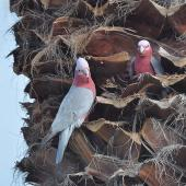 Galah. Pair preparing a nest high up in a palm tree, male on left. Quinns Rocks,  Western Australia, July 2015. Image © Marie-Louise Myburgh by Marie-Louise Myburgh