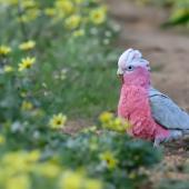 Galah. Adult male. Perth, Western Australia, September 2019. Image © Mark Lethlean by Mark Lethlean