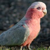 Galah. Adult female in early evening light. Alice Springs, Northern Territory,  Australia, December 2012. Image © Perla Tortosa by Perla Tortosa www.viewbug.com/member/perlatortosa