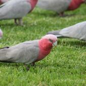 Galah. Flock foraging. Alice Springs, Northern Territory,  Australia, March 2013. Image © Perla Tortosa by Perla Tortosa www.viewbug.com/member/perlatortosa