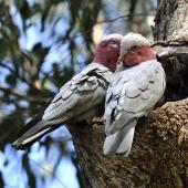 Galah. Pair at nest, female on left. Perth, October 2014. Image © Marie-Louise Myburgh by Marie-Louise Myburgh