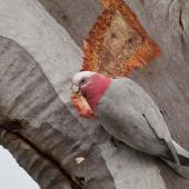Galah. Adult male stripping back from trunk of a large, old Blakelys red gum. Kambah, Australian Capital Territory, August 2016. Image © Glenn Pure 2016 birdlifephotography.org.au by Glenn Pure