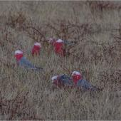 Galah. Foraging flock of adults, with one juvenile centre front. Ponui Island, February 2013. Image © Colin Miskelly by Colin Miskelly