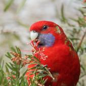 Crimson rosella. Immature bird feeding. Kambah, Australian Capital Territory, July 2016. Image © Glenn Pure 2016 birdlifephotography.org.au by Glenn Pure