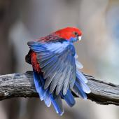 Crimson rosella. Adult stretching wing. Devils Bend, Victoria, Australia, April 2019. Image © Mark Lethlean by Mark Lethlean