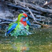 Crimson rosella. Juvenile bathing. Kangaroo Island, South Australia, March 2019. Image © Mark Lethlean by Mark Lethlean
